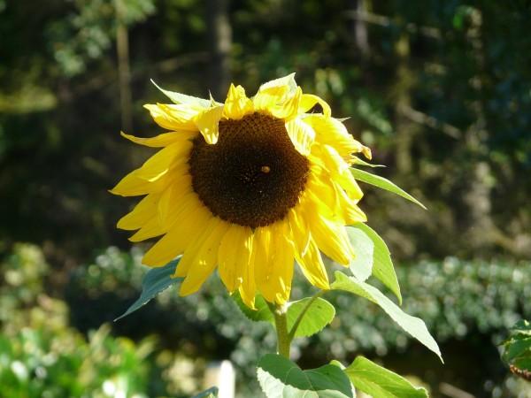 20130928_P1180900_Sonnenblume