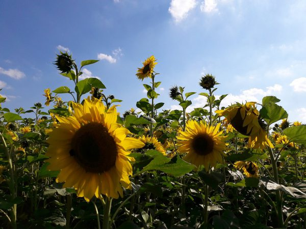 20160816_164220_Sonnenblumen