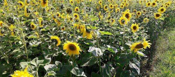 20160816_164303_Sonnenblumen